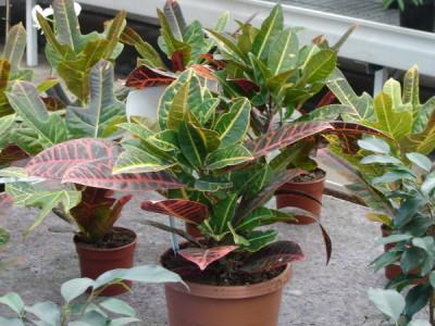 Giftige Zimmerpflanzen - Codiaeum