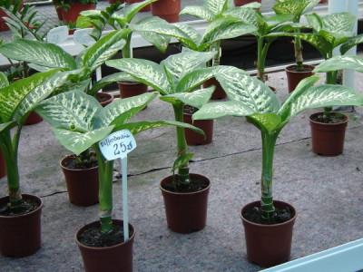 Giftige Zimmerpflanzen - Dieffenbachien