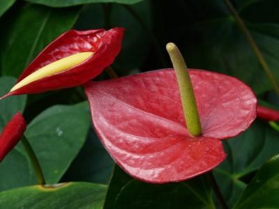 Giftige Zimmerpflanzen - Flamingoblume