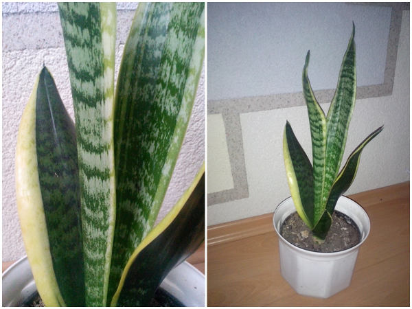 Pflegeleichte zimmerpflanzen bohenhanf - Pflegeleichte zimmerpflanzen ...