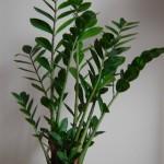pflegeleichte Zimmerpflanzen - Glücksfeder