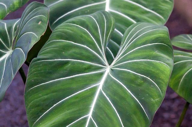 Giftige zimmerpflanzen philodendron - Giftige zimmerpflanzen ...