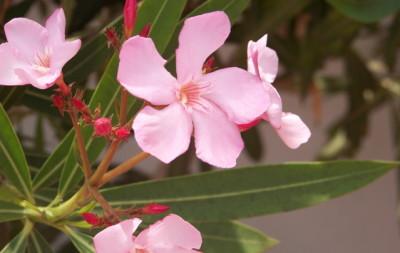 Giftige Zimmerpflanzen - Oleander