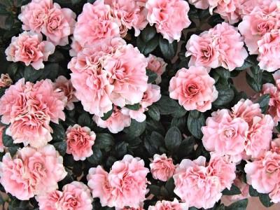Winterblühende Zimmerpflanze zimmer-azalee