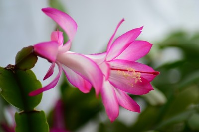 winterblühende Zimmerpflanzen – Weihnachtskaktus