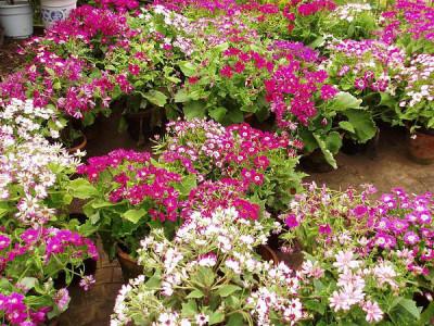 Winterblühende Zimmerpflanzen – Zinerarie