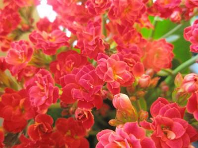 Winterblühende Zimmerpflanzen – Kalanchoe