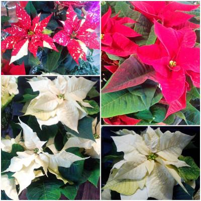 Winterblühende Zimmerpflanzen - Weihnachtsstern
