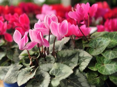Giftige Zimmerpflanzen - Zimmer-Alpenveilchen
