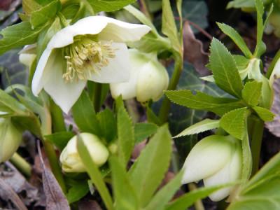 Garten im Winter – Schneerose