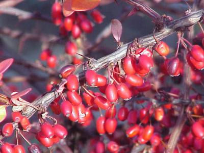 Garten im Winter Berberitzen