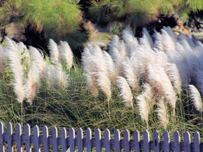 Garten im Winter – amerikanisches Pampasgras