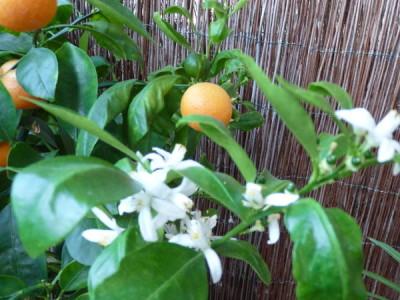 lang blühende Zimmerpflanzen – Calamondinorange