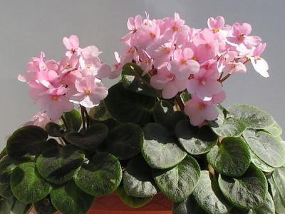 lang blühende Zimmerpflanzen – Usambaraveilchen