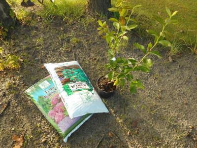 Heidelbeeren anpflanzen