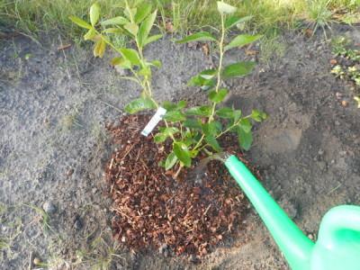 Heidelbeeren anpflanzen giessen