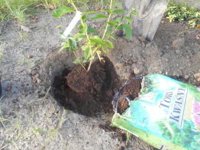 Heidelbeeren anpflanzen schritt für schritt