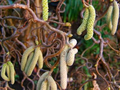 Korkenzieherhasel (Corylus avellana) 'Contorta'