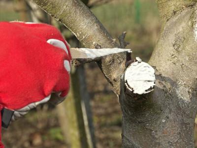 Obstbäume richtig schneiden wundenwachs
