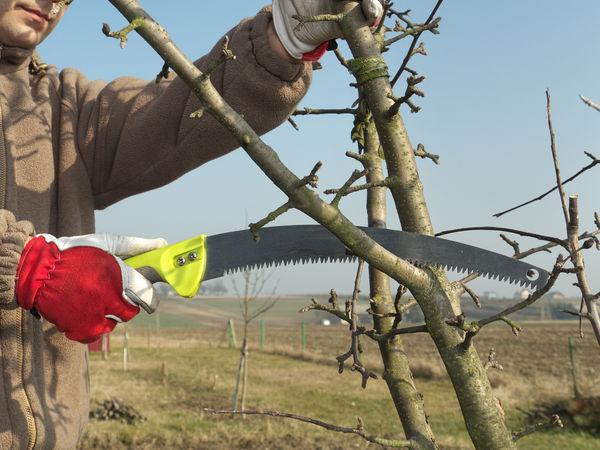 Obstbäume richtig schneiden