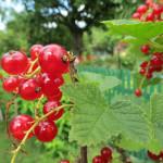 Obststräucher schneiden