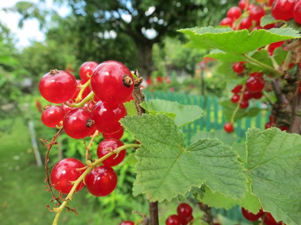 Lieblings Obststräucher schneiden   Gartentipps @EH_93