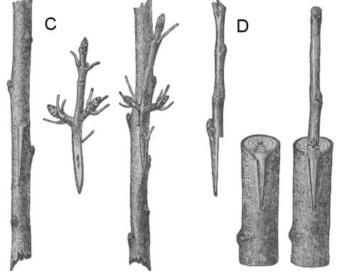 Gemeinsame Obstbäume veredeln - Methoden, Termine, Unterlagen, Edelreiser @SY_54