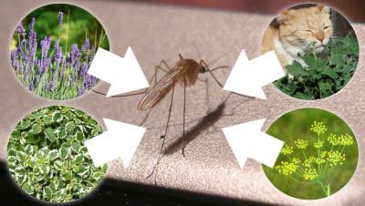 Pflanzen gegen Mücken