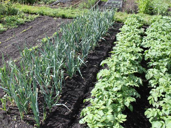 welches Gemüse nebeneinander pflanzen