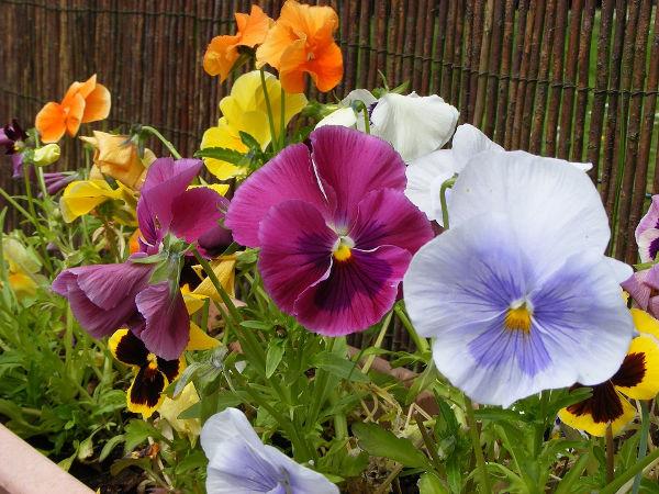 Blumen im März pflanzen