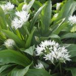 Bärlauch pflanzen - Verwendung und Anbau