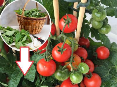 Tomatendünger aus Brennnesseln