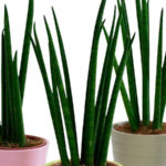 Zimmerpflanzen die wenig Licht brauchen – Bogenhanf