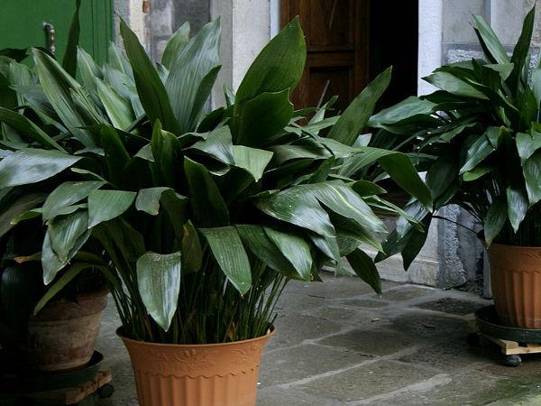 zimmerpflanzen die wenig licht brauchen schusterpalme. Black Bedroom Furniture Sets. Home Design Ideas