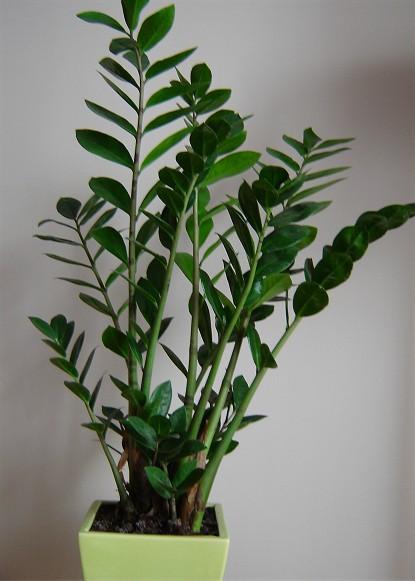 zimmerpflanzen die wenig licht brauchen gl cksfeder. Black Bedroom Furniture Sets. Home Design Ideas