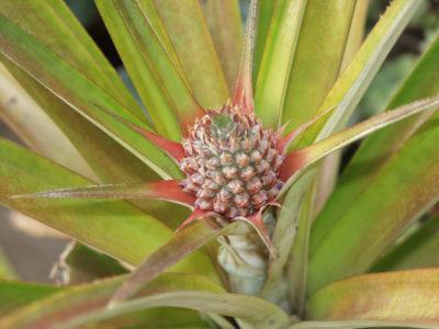 Ananas einpflanzen - Ananas selber züchten -3
