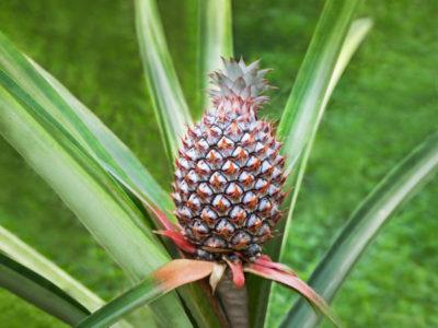 Single ripe pineapple growing in the field