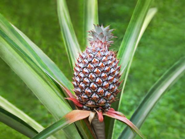 Ananas einpflanzen - Ananas selber züchten
