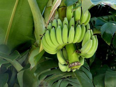 Bananen Samen selber zuechten