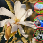 Magnolie Pflege - düngen, wässern, Magnolien schneiden