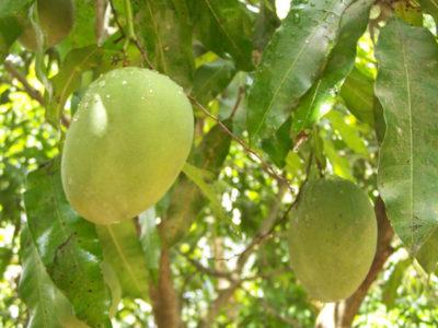 Mangokern einpflanzen - Mango selber züchten-2