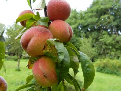 Wie kann man Pfirsichbaum aus Kern ziehen