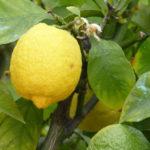 Zitronenkerne einpflanzen - Zitronenbaum selber ziehen