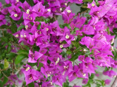 Bougainvillea - pflanzen, Sorten, pflegen
