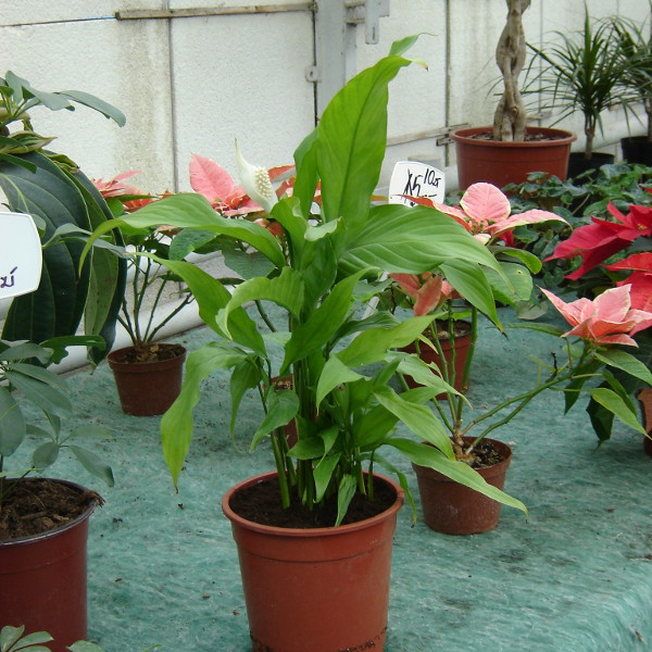 Einblatt, Spathiphyllum - Pflege, vermehren, Krankheiten