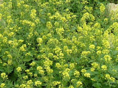 Gründungung im Garten - wann säen, Gründüngungspflanzen -