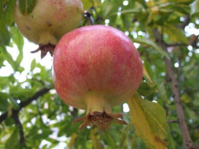 Granatapfelbaum, Granatapfel, Punica granatum - Pflege im Topf - 2