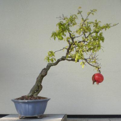 Granatapfelbaum, Granatapfel, Punica granatum - Pflege im Topf