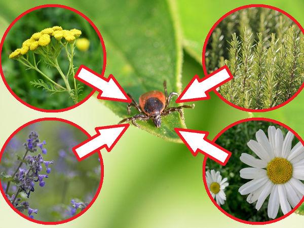 Pflanzen gegen Zecken