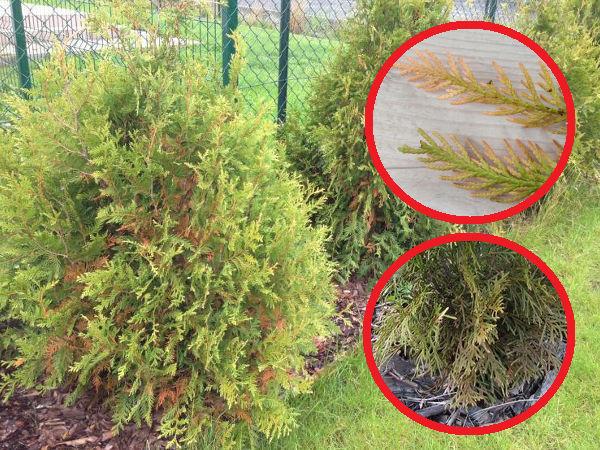 Thuja Wird Gelb Und Trocknet Die 3 Haufigsten Grunde Gartentipps